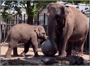 de-sri-lankaanse-olifant-10