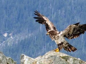 http://www.publicdomainpictures.net/view-image.php?image=15976&picture=eagle-landing