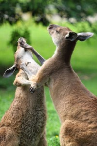 http://www.publicdomainpictures.net/view-image.php?image=7195&picture=kangaroo-fight