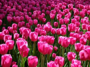 http://www.publicdomainpictures.net/view-image.php?image=6500&picture=pink-tulips