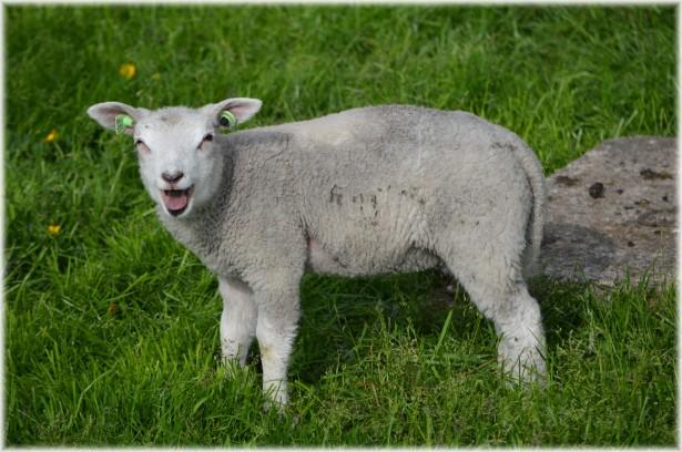 http://www.publicdomainpictures.net/view-image.php?image=49597&picture=lamb-04