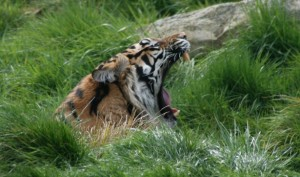 http://www.publicdomainpictures.net/view-image.php?image=38150&picture=roaring-tiger