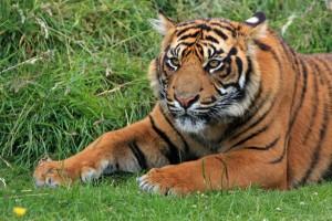 http://www.publicdomainpictures.net/view-image.php?image=32806&picture=tiger-cub-portrait