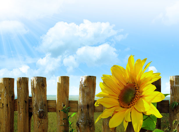 http://www.publicdomainpictures.net/view-image.php?image=17016&picture=sunflower