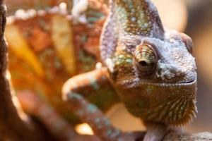 http://www.publicdomainpictures.net/view-image.php?image=26084&picture=chameleon