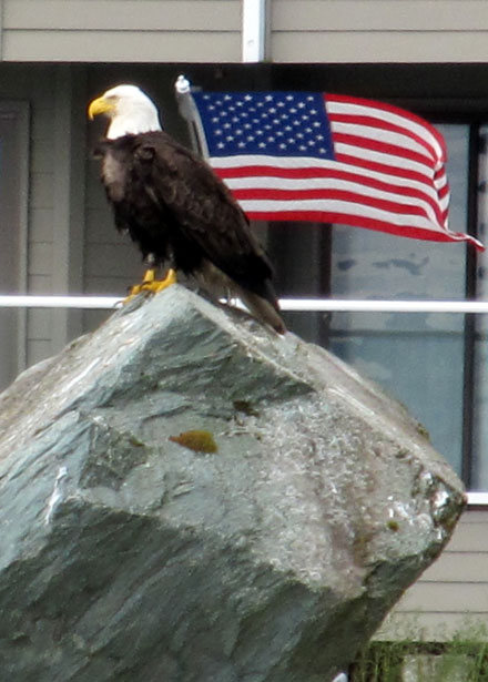 http://www.publicdomainpictures.net/view-image.php?image=15980&picture=american-eagle