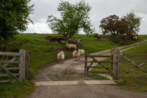 http://www.publicdomainpictures.net/view-image.php?image=180692&picture=sheep