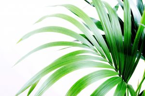 http://www.publicdomainpictures.net/view-image.php?image=40208&picture=palm-leaves