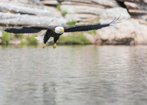 http://www.publicdomainpictures.net/view-image.php?image=118476&picture=american-eagle