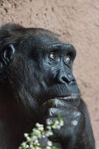 https://www.publicdomainpictures.net/en/view-image.php?image=38599&picture=thinking-gorilla