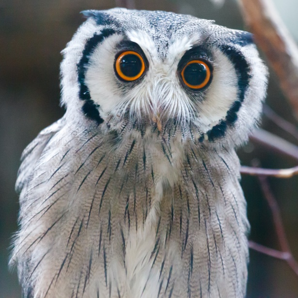 http://www.publicdomainpictures.net/view-image.php?image=144356&picture=southern-white-faced-owl