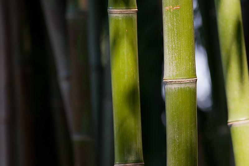 https://commons.wikimedia.org/wiki/File:Bamboo_Feb09.jpg